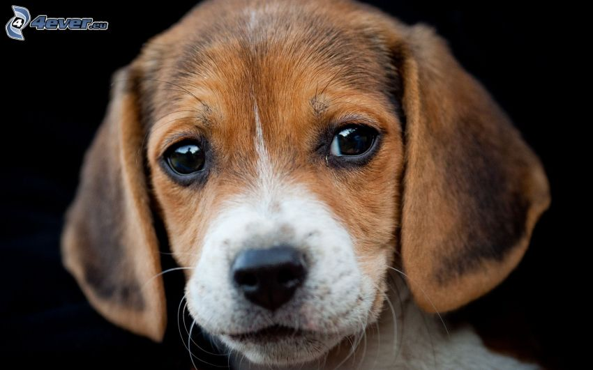 beagle, puppy