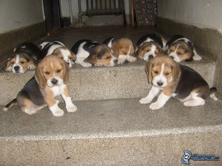 beagle puppies, stairs