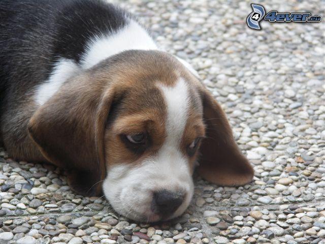 beagle puppy, sidewalk, gravel, pavement