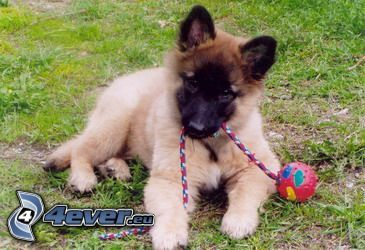belgian shepherd, puppy, playful puppy