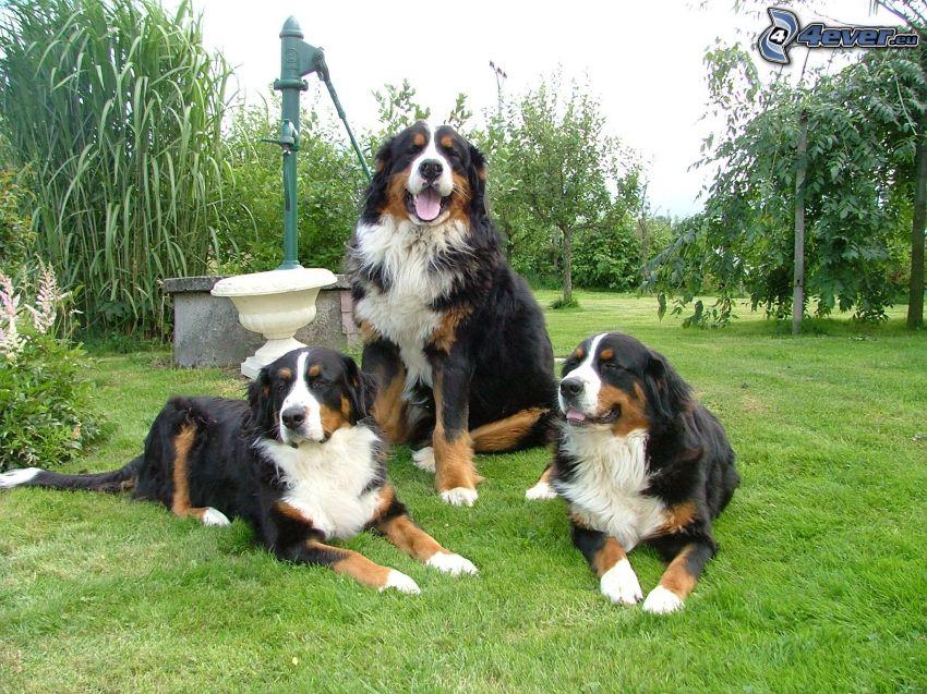 Bernese mountain dogs, grass, garden, water well