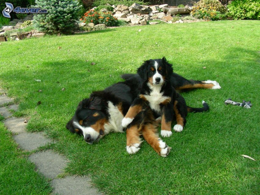 Bernese mountain dogs, puppy