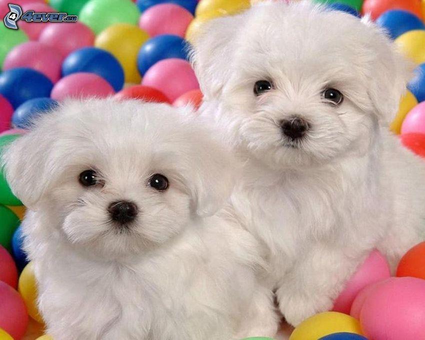 Bichon Frisé, puppies, balls