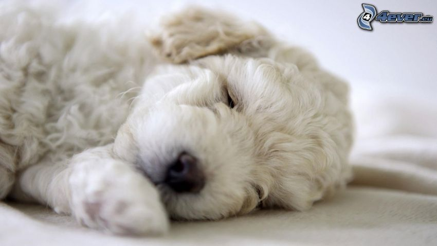 Bichon Frisé, sleeping dog