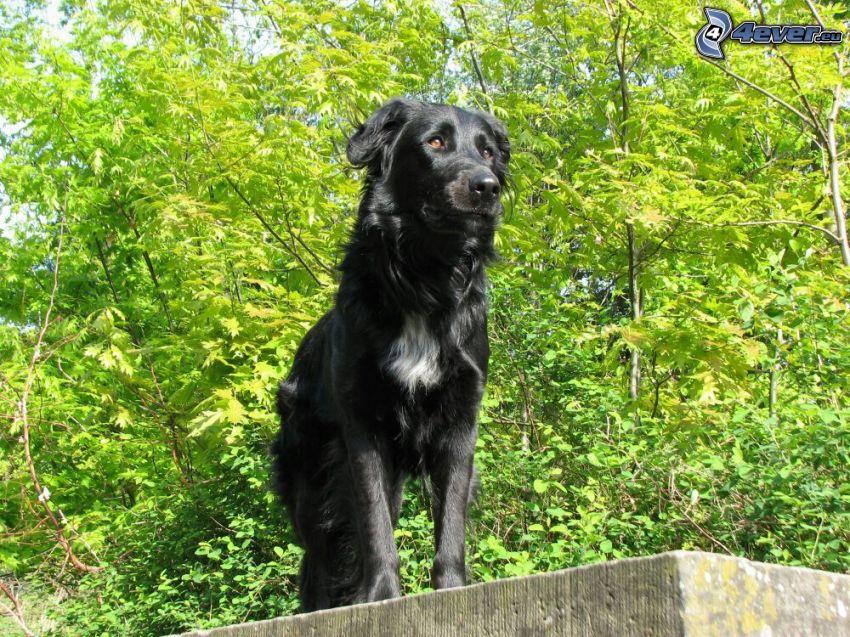black dog, green trees