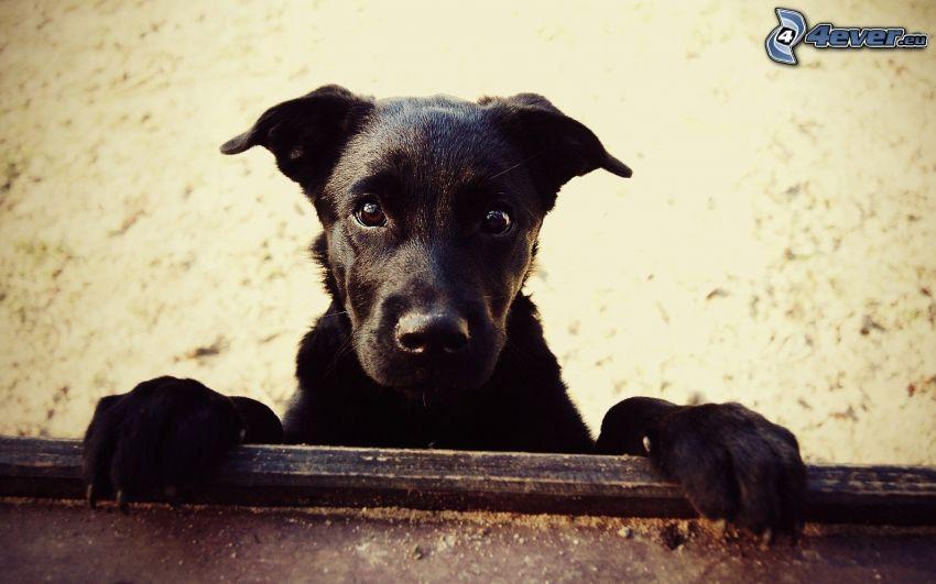 black dog, puppy