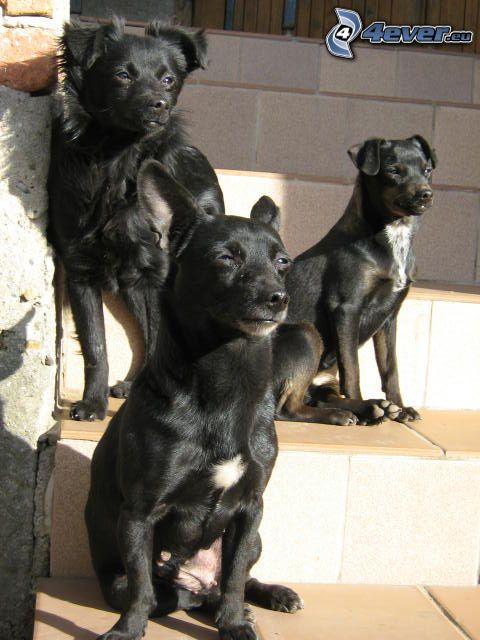 black puppies, stairs