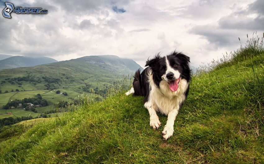 Border Collie, hills