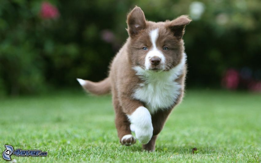Border Collie, lawn