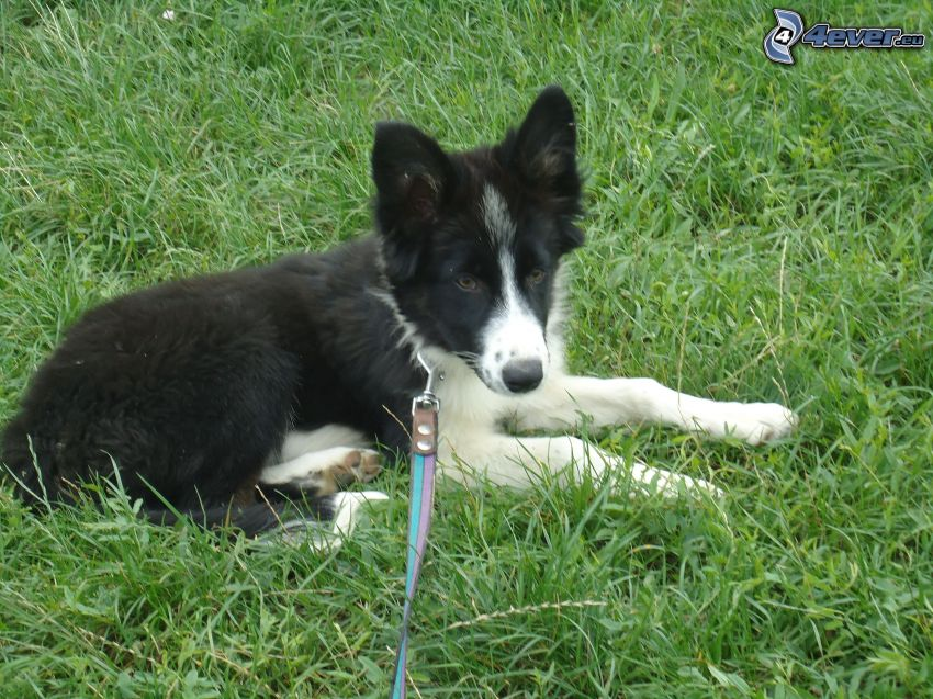 Border Collie, puppy, grass