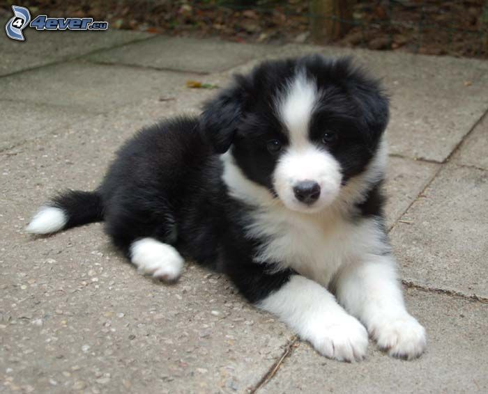 Border Collie, puppy, pavement