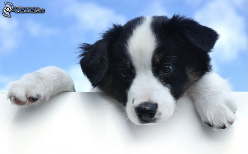 Border Collie, puppy