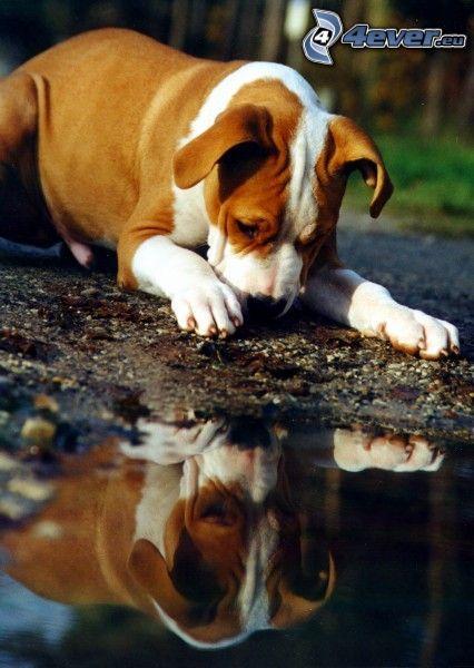 brown dog, fen