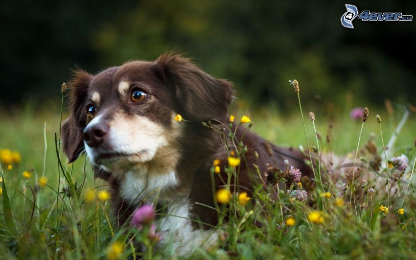 brown dog, spring flowers