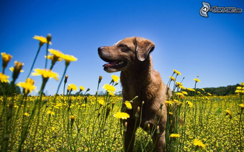 brown dog, yellow flowers, meadow