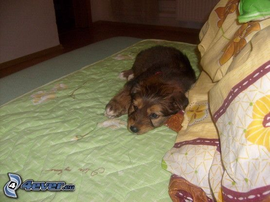 brown puppy, dog on the bed, relaxing, rest
