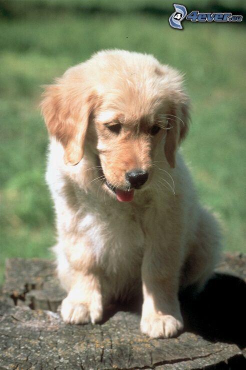 brown puppy, stump