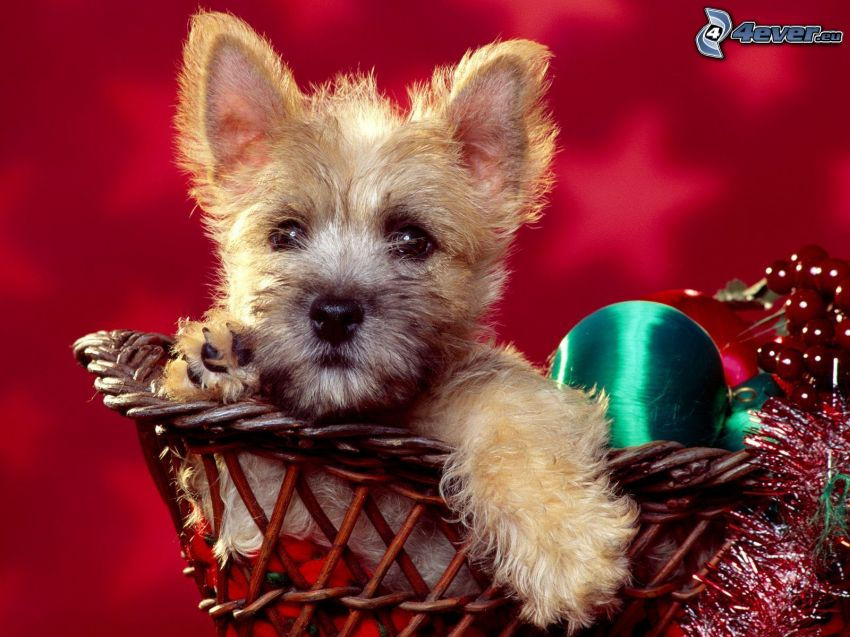 cairn Terrier, christmas ball, puppy in a basket