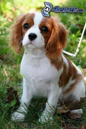 Cavalier King Charles Spaniel, puppy