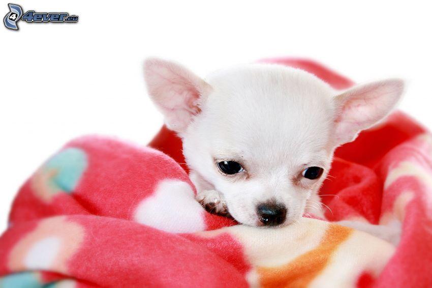 Chihuahua, blanket