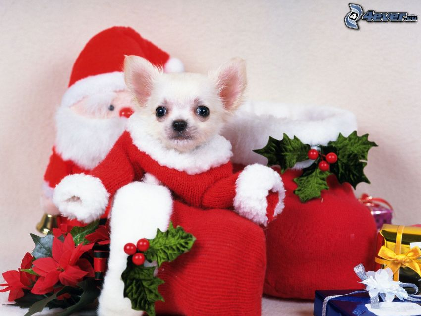Chihuahua, christmas, red dress