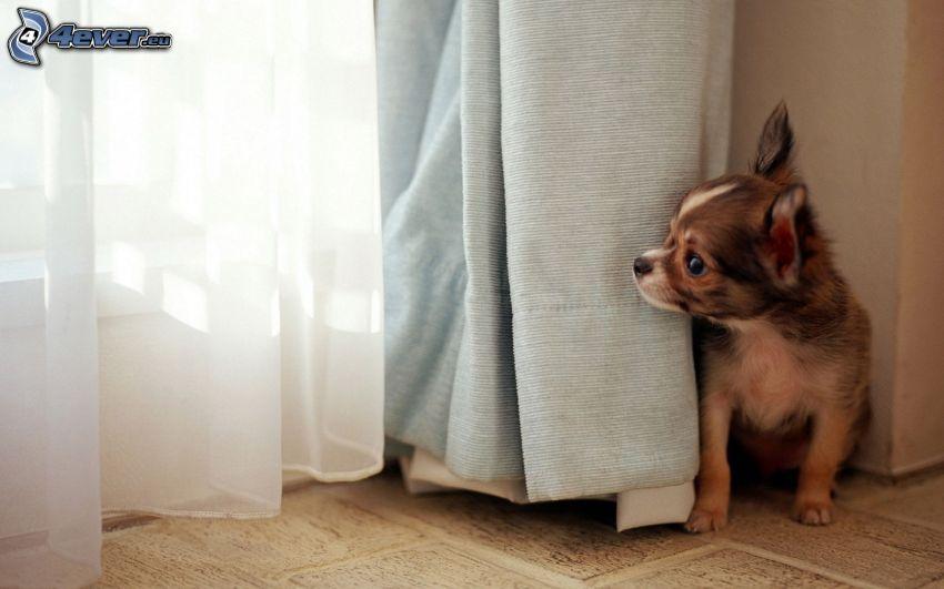 Chihuahua, curtain