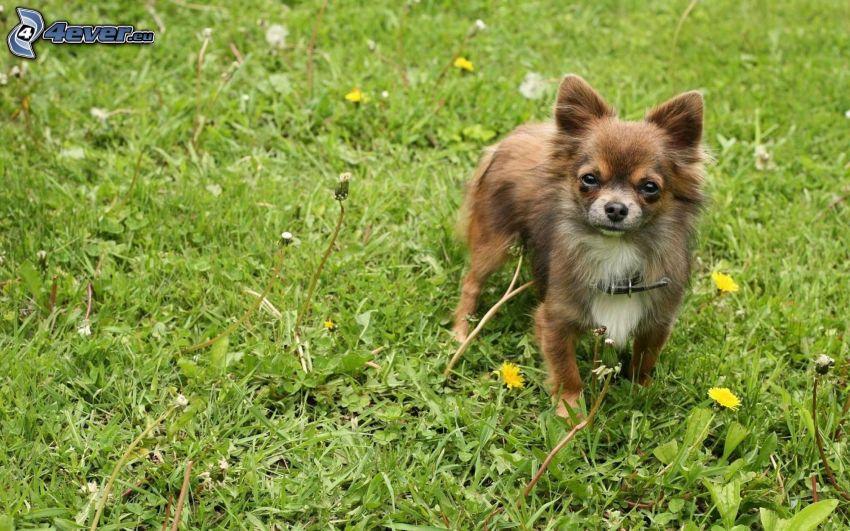 Chihuahua, dandelion, grass