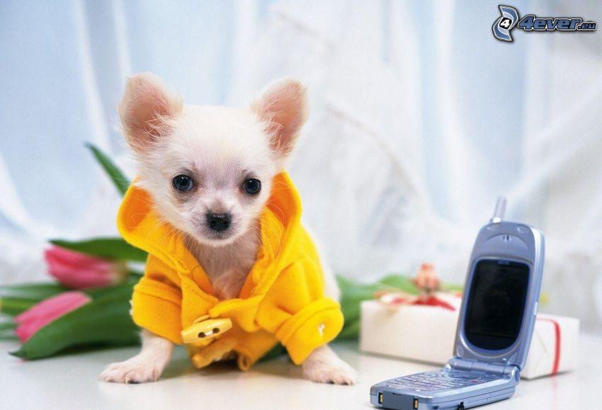 Chihuahua, dressed dog, coat, phone