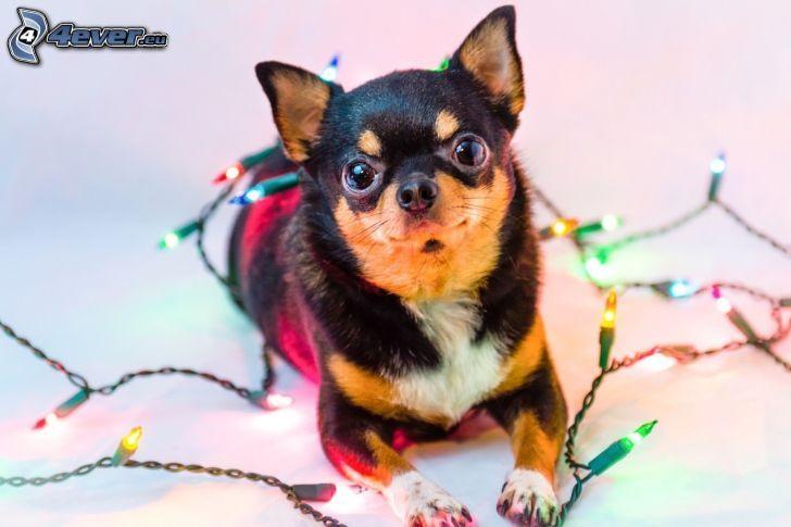 Chihuahua, lights