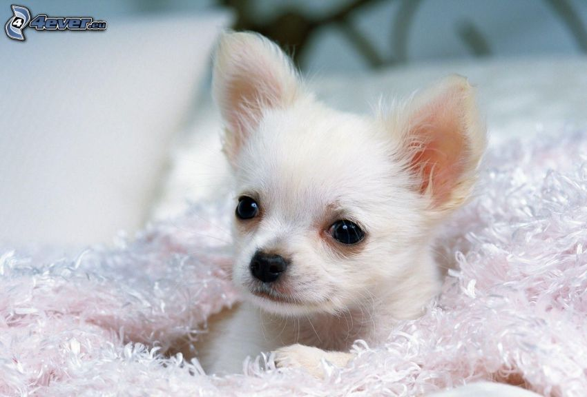 Chihuahua, puppy, white dog