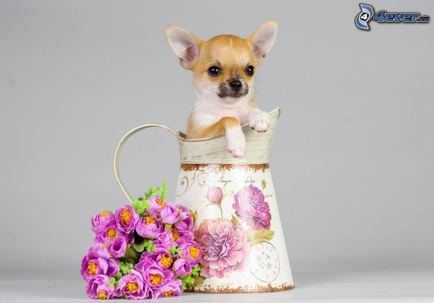 Chihuahua, vase, bouquets