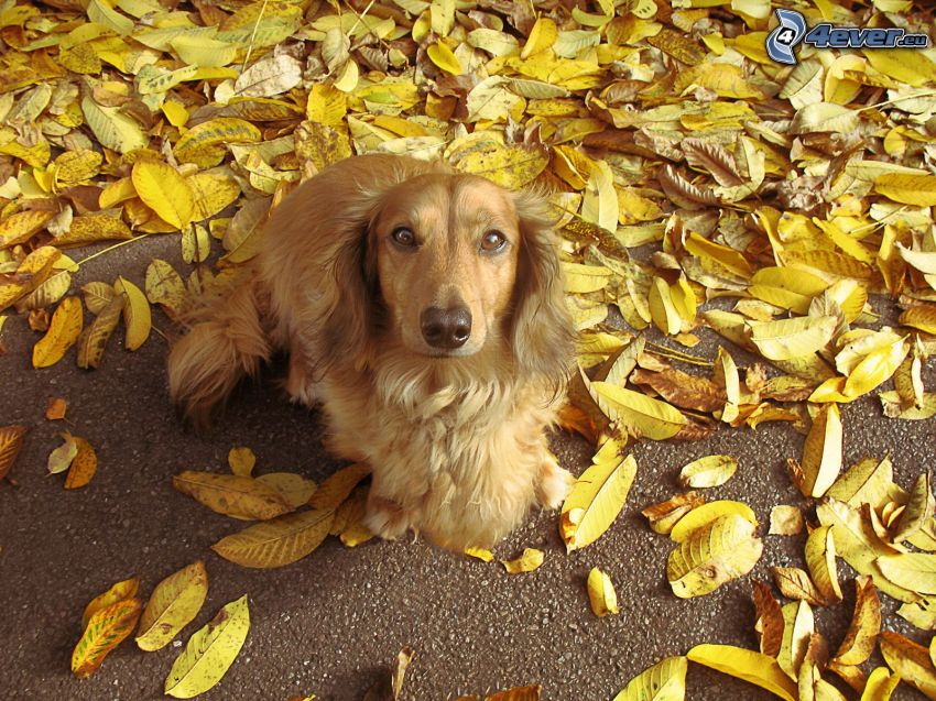 cocker spaniel, yellow leaves