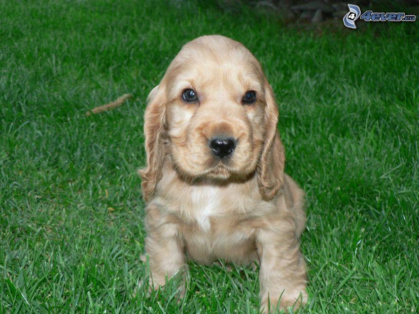 cocker spaniel puppy, lawn
