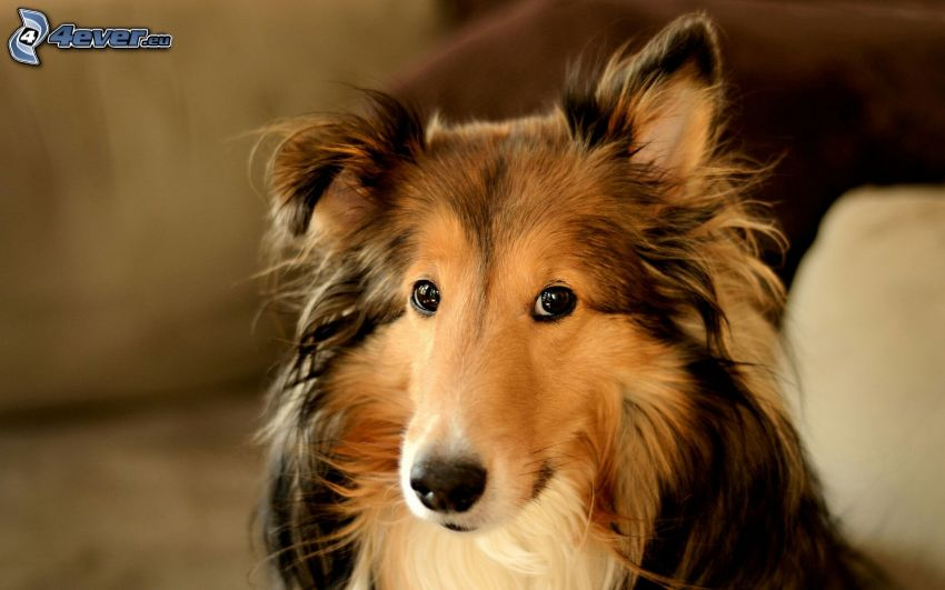 collie, dog look
