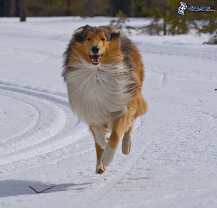 collie, running, snow