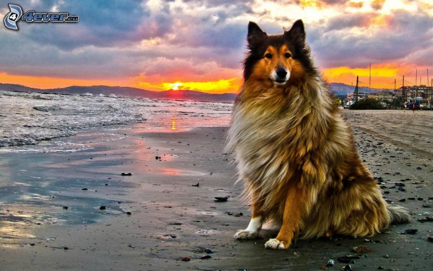 collie, sandy beach, sunset, mountain, sea, yellow sky