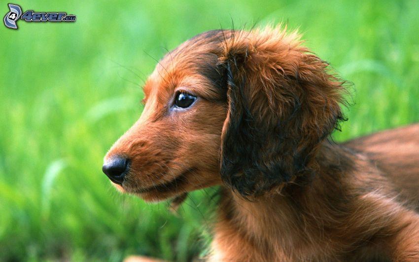 dachshund in the grass, puppy