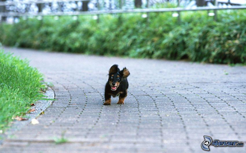 dachshund puppy, puppy, running