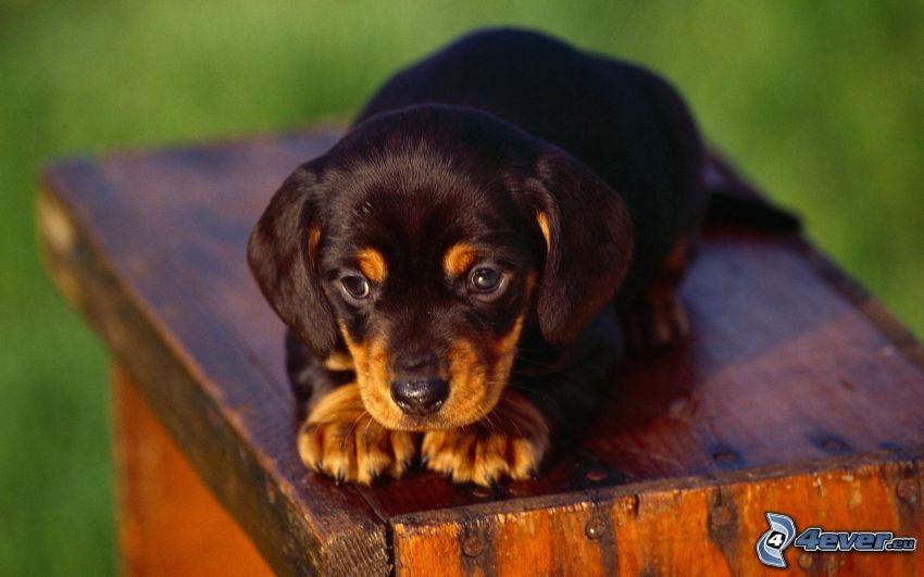 dachshund puppy, wood, eyes