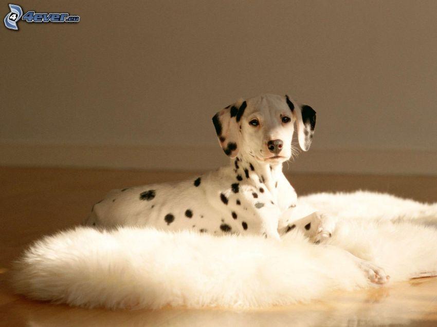 dalmatian, puppy