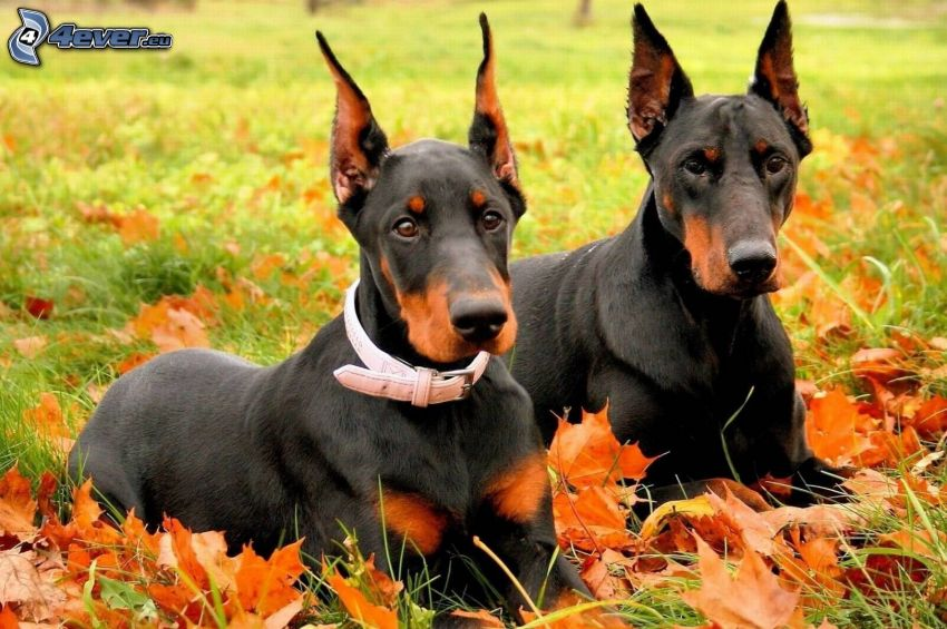 doberman, autumn leaves