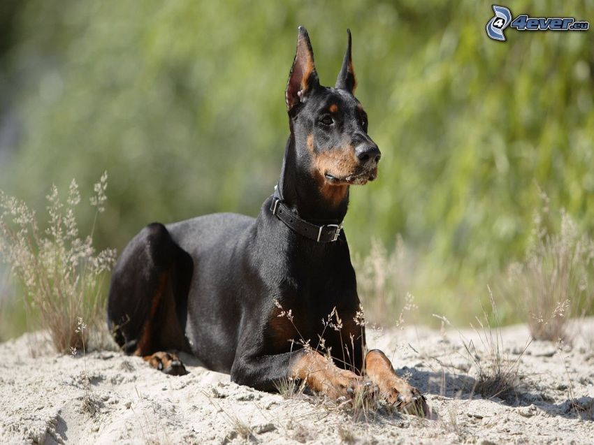 doberman, dry grass