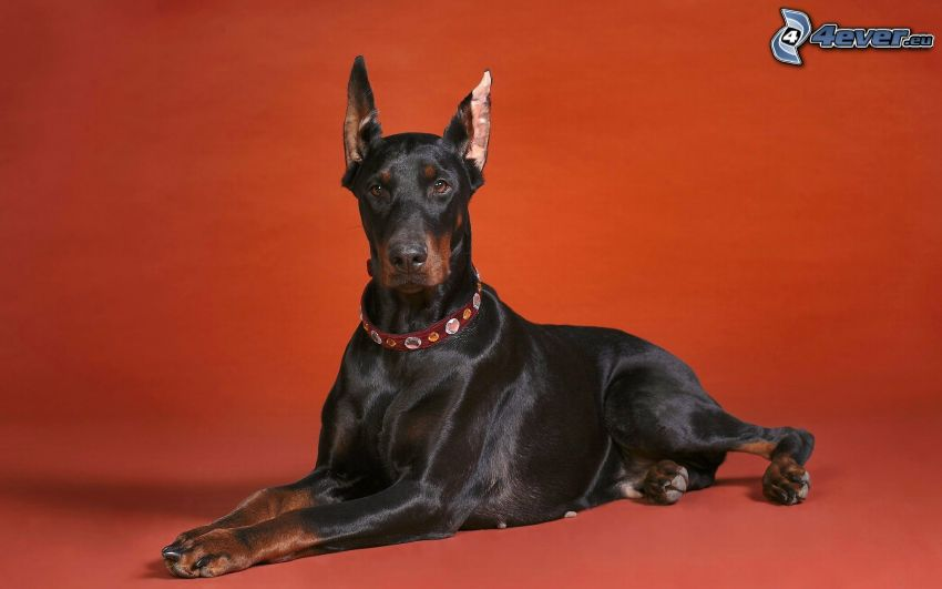 doberman, red background