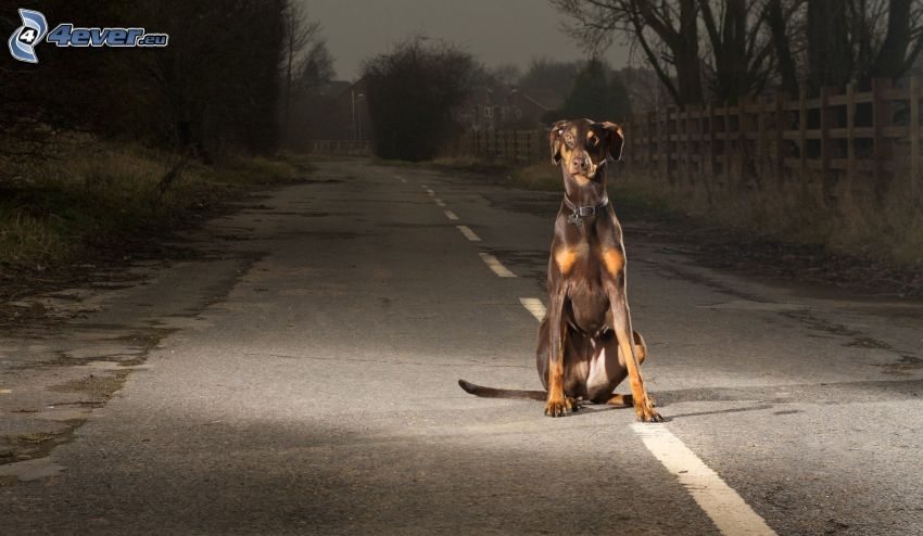 doberman, road, palings, evening