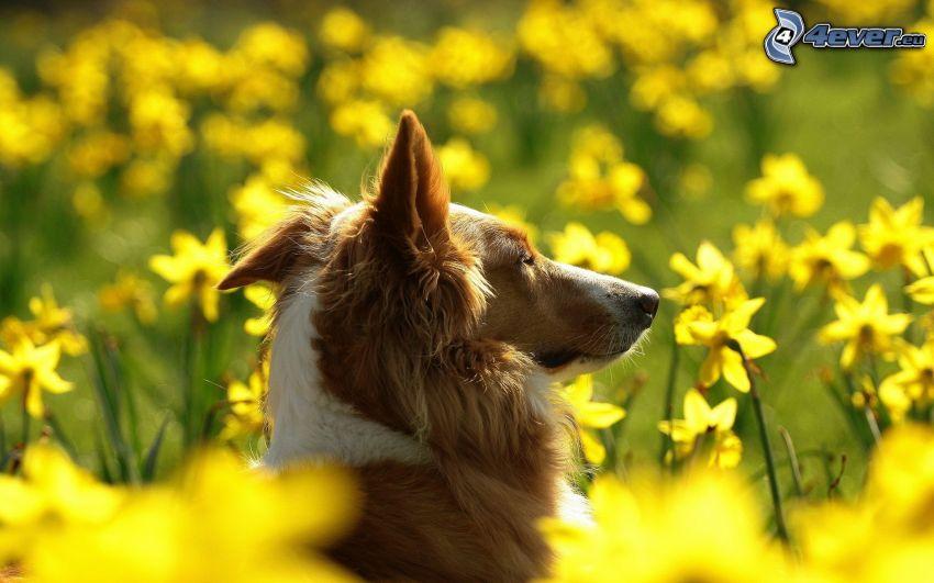 dog, daffodils