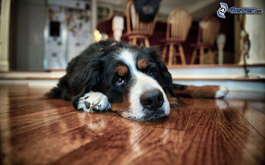 dog, floor