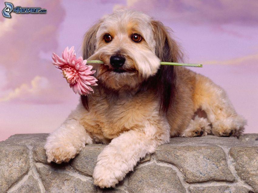 dog, gerbera, wall