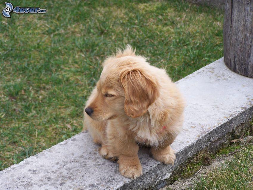 dog, grass, wall, puppy