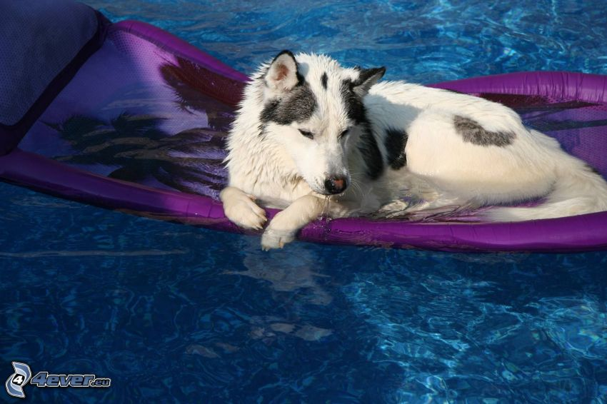 dog, inflatable, water, rest