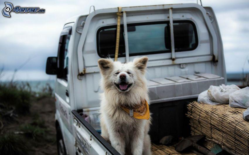 dog, pickup truck